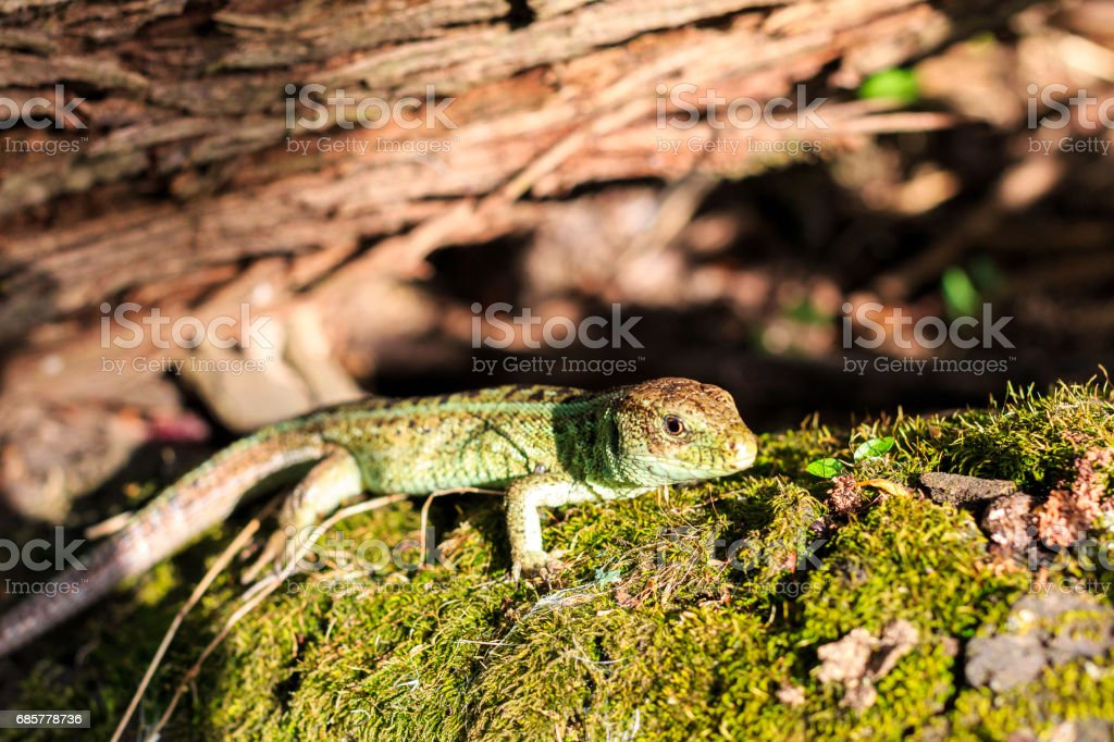 Green forest lizard sitting on a tree. Wild lizard green. Zootoca vivipara. Lacerta. royalty-free stock photo