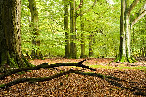 grünen wald mit bäumen alten beech - baumgruppe stock-fotos und bilder