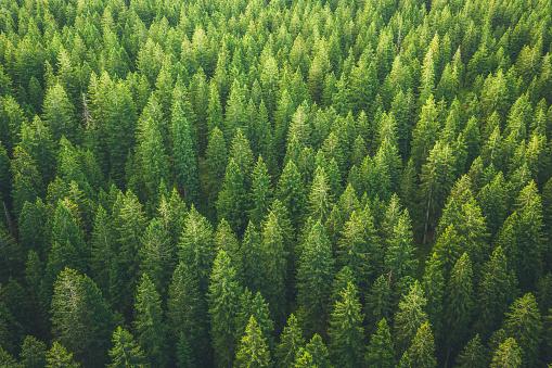 綠色森林 照片檔及更多 Pinaceae 照片
