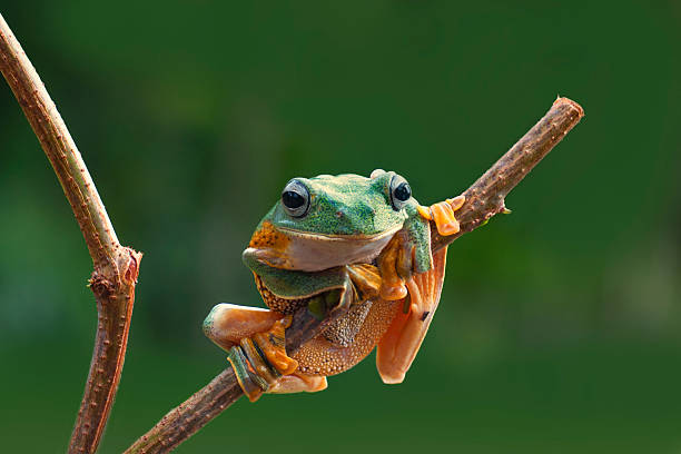 green forest tree frog stock photo