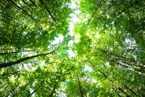 Green forest. Tree with green Leaves and sun light. stock photo