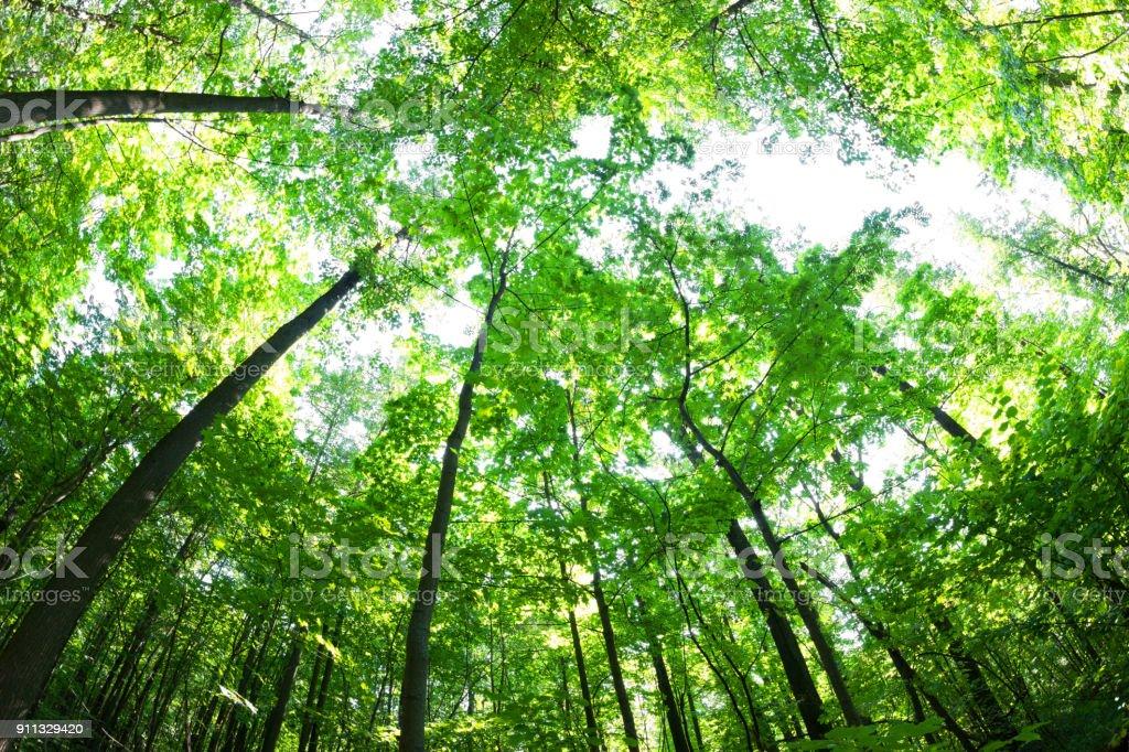 Grünen Wald. Baum mit grünen Blättern und Sonnenlicht. – Foto