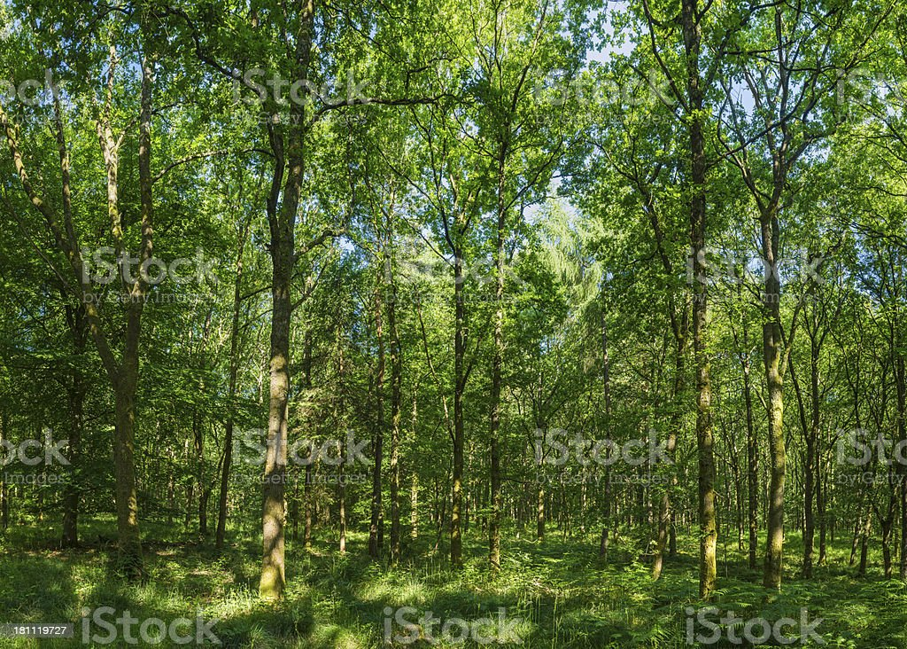 Green forest wilderness vibrant summer foliage in idyllic oak woods royalty-free stock photo