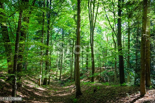 istock Green forest with lush foliage 1151229498