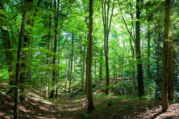 grünwald mit üppigen laub - baumgruppe stock-fotos und bilder