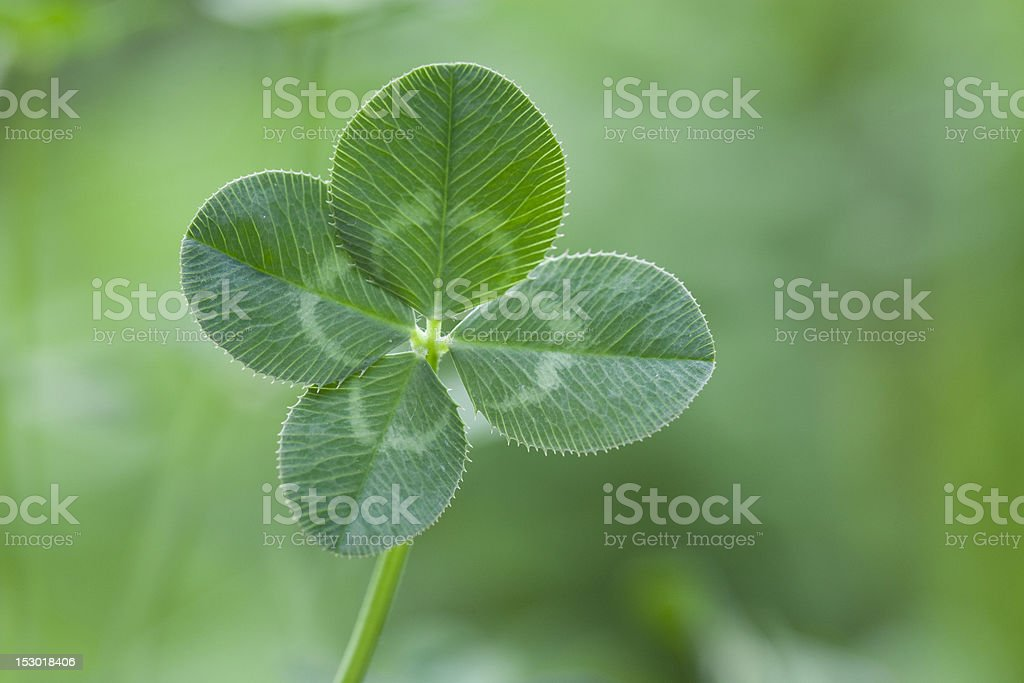 A green four leaf clover with a blurry background stock photo