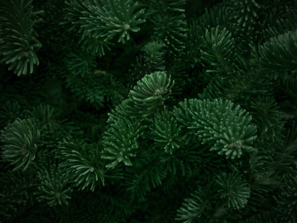 Green Fraser Fir Christmas Texture Background Dark Green Fraser Fir Christmas Texture Background evergreen tree stock pictures, royalty-free photos & images