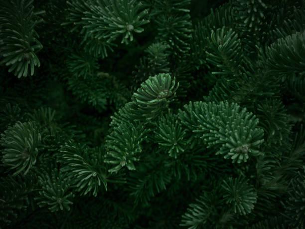 grüne fraser fir christmas texture background - laub winter stock-fotos und bilder