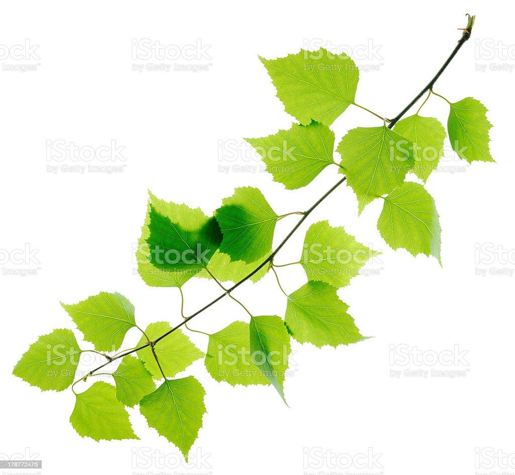 Green fresh birch twig stock photo