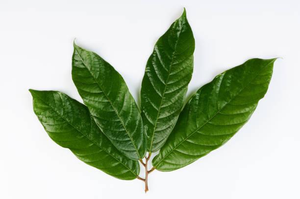 Grüne frische Kakaoblätter – Foto