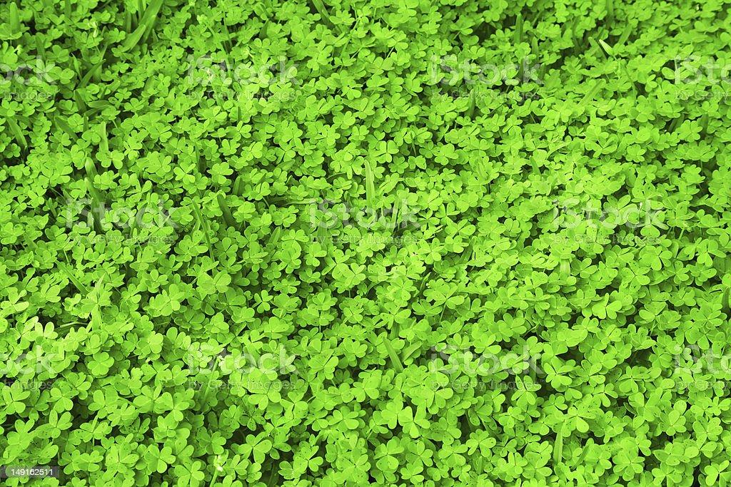 Fresco verde quadrifoglio campo fotografie stock e altre - Immagini di quadrifoglio a quattro foglie ...