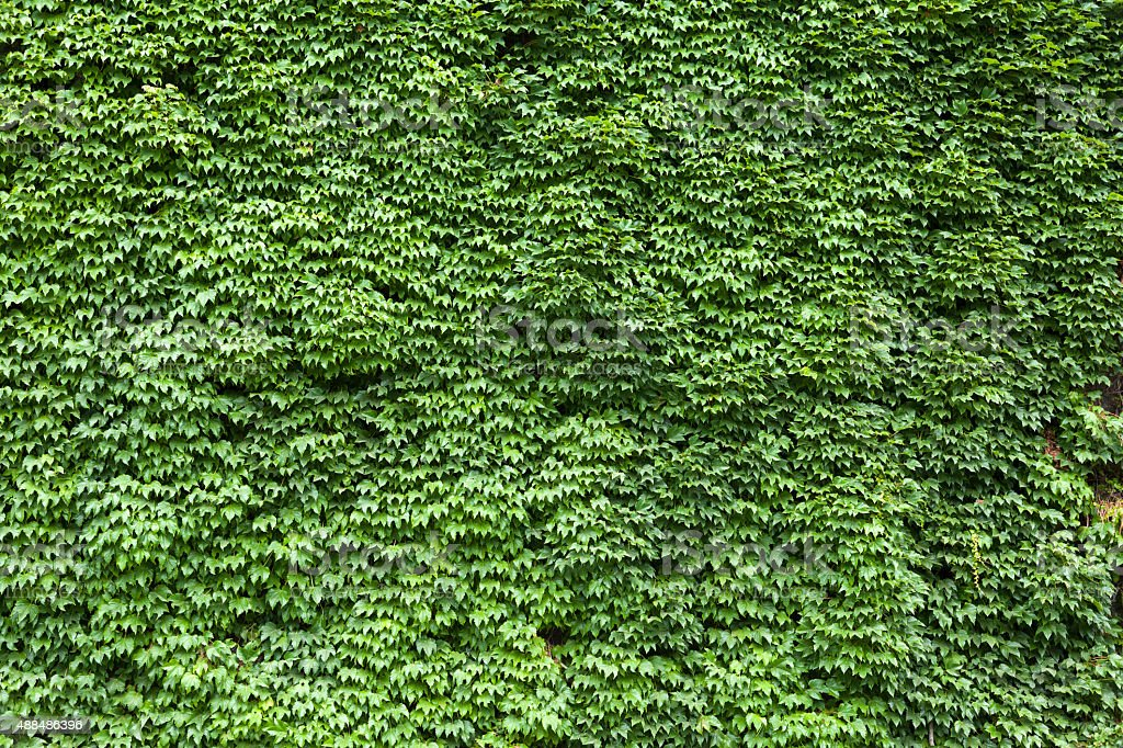 Green fresh grape leaves stock photo