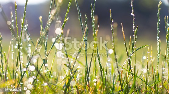 Green fresh grass in the drops of dew texture background