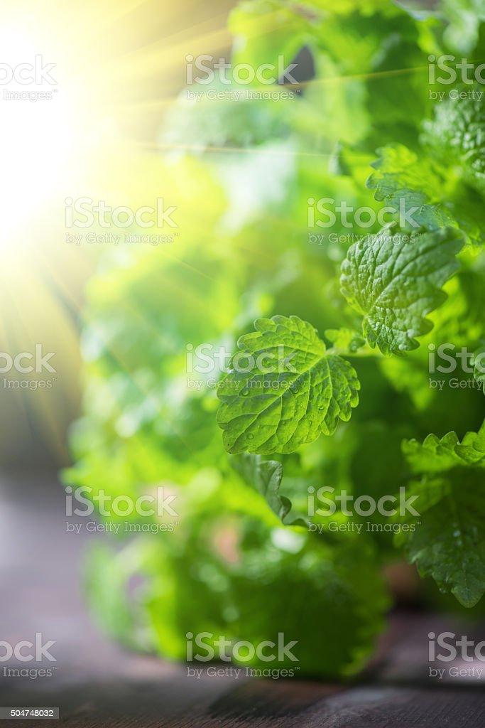 Green fresh melissa leaves stock photo