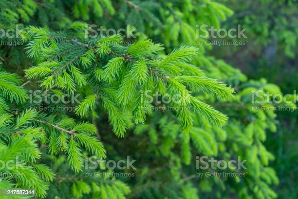 Photo of green fresh needles on fir trees. Young light green sprouts. Selective focus. appearance of new young needles on a coniferous tree. spruce update.