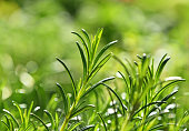 Close up green fresh rosemary spicy herb (Rosmarinus officinalis) sprouts growing under bright sunshine