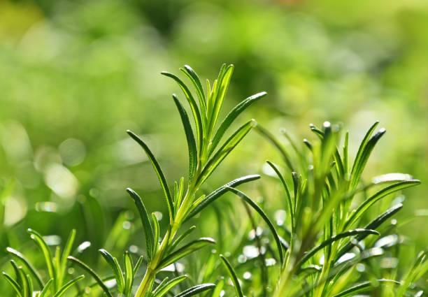 groene verse rozemarijn pittige kruid spruiten - rozemarijn stockfoto's en -beelden