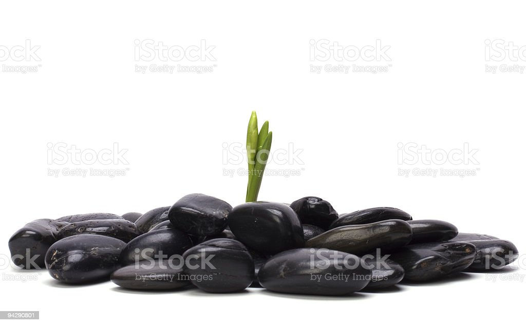 green fresh sprout and black stones royalty-free stock photo