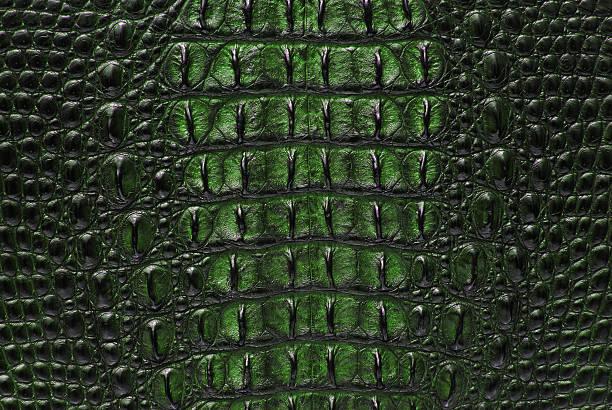 crocodile d'eau douce vert os la texture de la peau. - Photo
