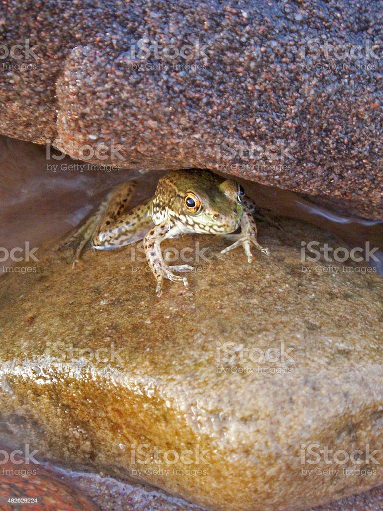 Green Frog Between Rocks stock photo