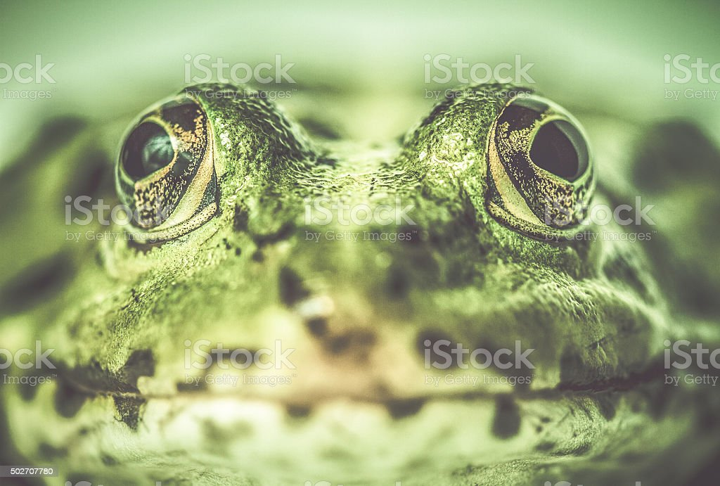 Green frog close up stock photo