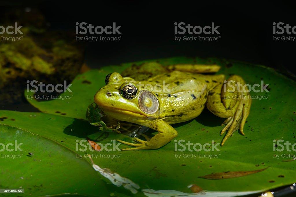 Green Frog Close-up, Lithobates (Rana) clamitans melanota stock photo
