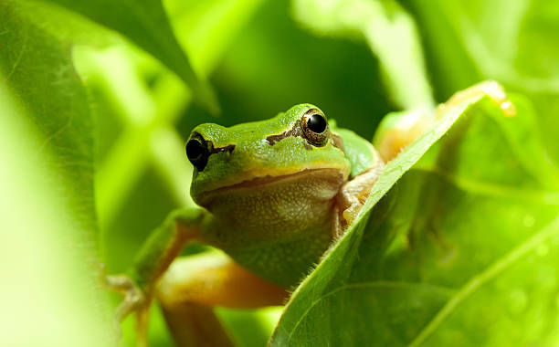 Green frog curious look stock photo