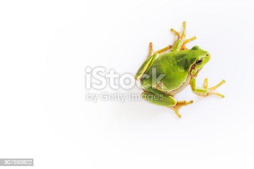 Tree frog Hyla on white background