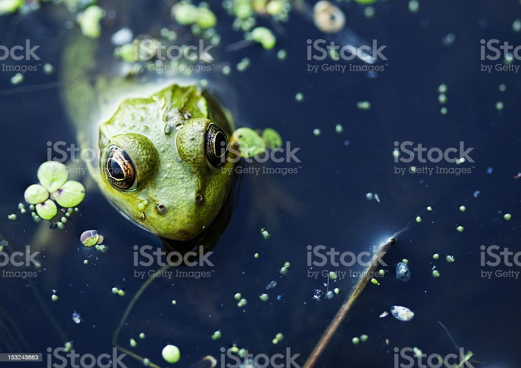 Green Frog in a Pond stock photo