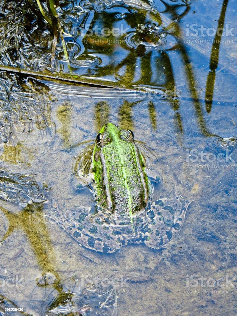 Rainette verte dans le marais photo libre de droits