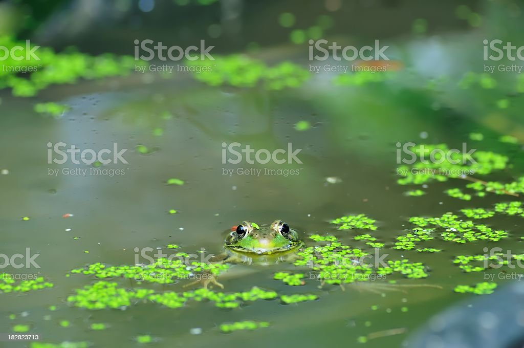 Green Frog Looking At You Rana clamitans stock photo