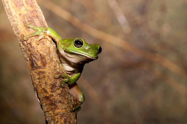 Green Frog on a vine stock photo