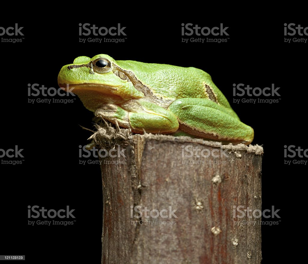 Green frog on branch stock photo