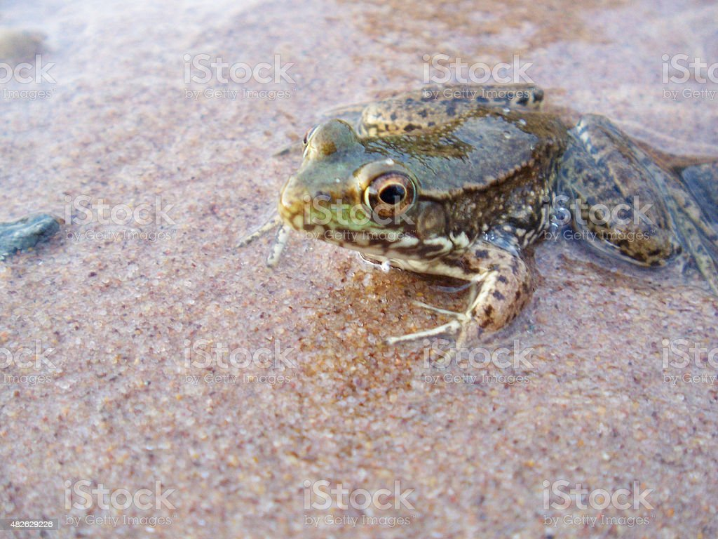 Green Frog on Sand stock photo