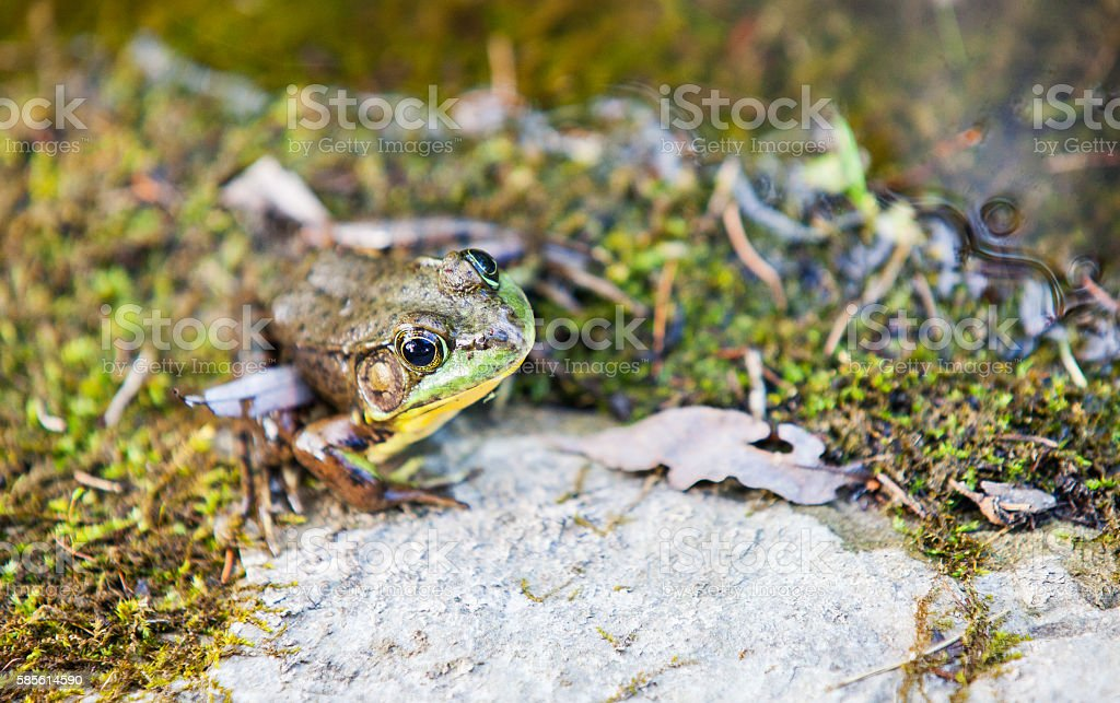 Green Frog on the edge of a Pond stock photo
