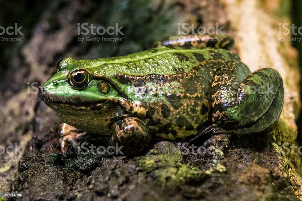 Green frog on tree trunk stock photo