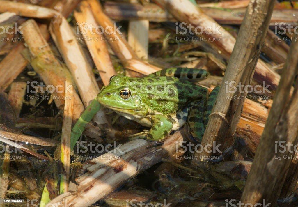 green frog pond water zbiór zdjęć royalty-free
