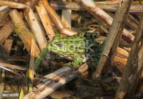 Green Frog Pond Water - Stockowe zdjęcia i więcej obrazów Bez ludzi