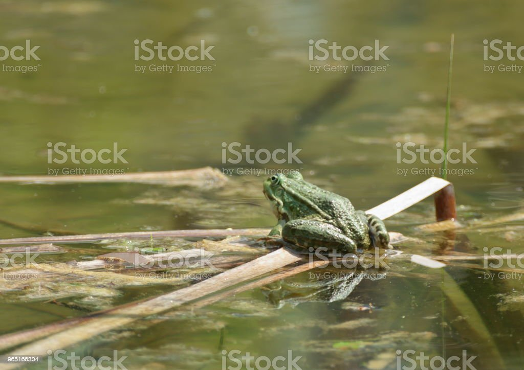 green frog pond water royalty-free stock photo
