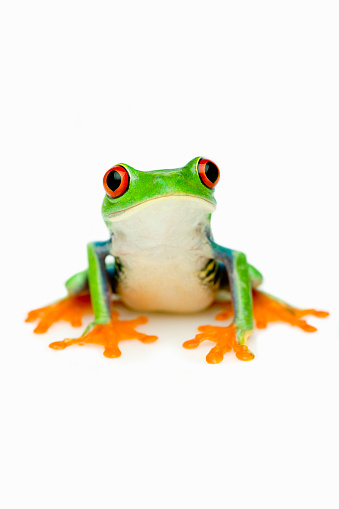The Red-eyed Tree Frog (Agalychnis callidryas) .