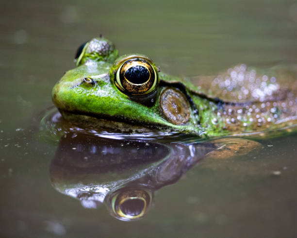 Green Frog Reflection stock photo