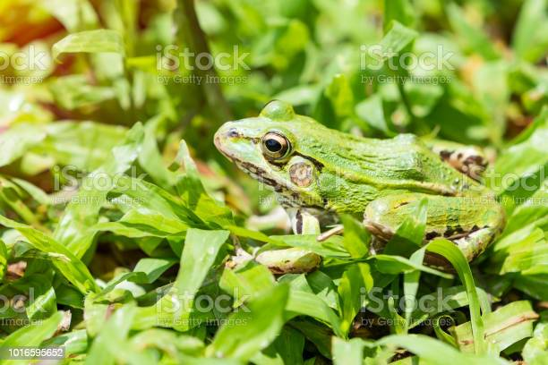 Green frog sitting in grass picture id1016595652?b=1&k=6&m=1016595652&s=612x612&h=tpyasholqr gd26dp4g40pksblxwyr66wrpeieiuqgo=