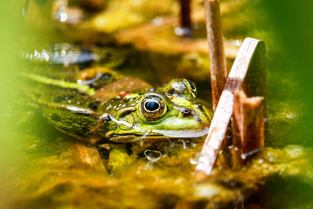 green frog sitting in the pond - croak stock pictures, royalty-free photos & images