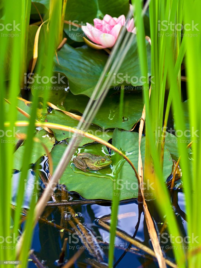 Green Frog Sitting on Water Lily Pad Oregon Garden Spring royalty-free stock photo