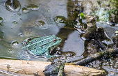 green frog swiming in the pond on sunny summer day