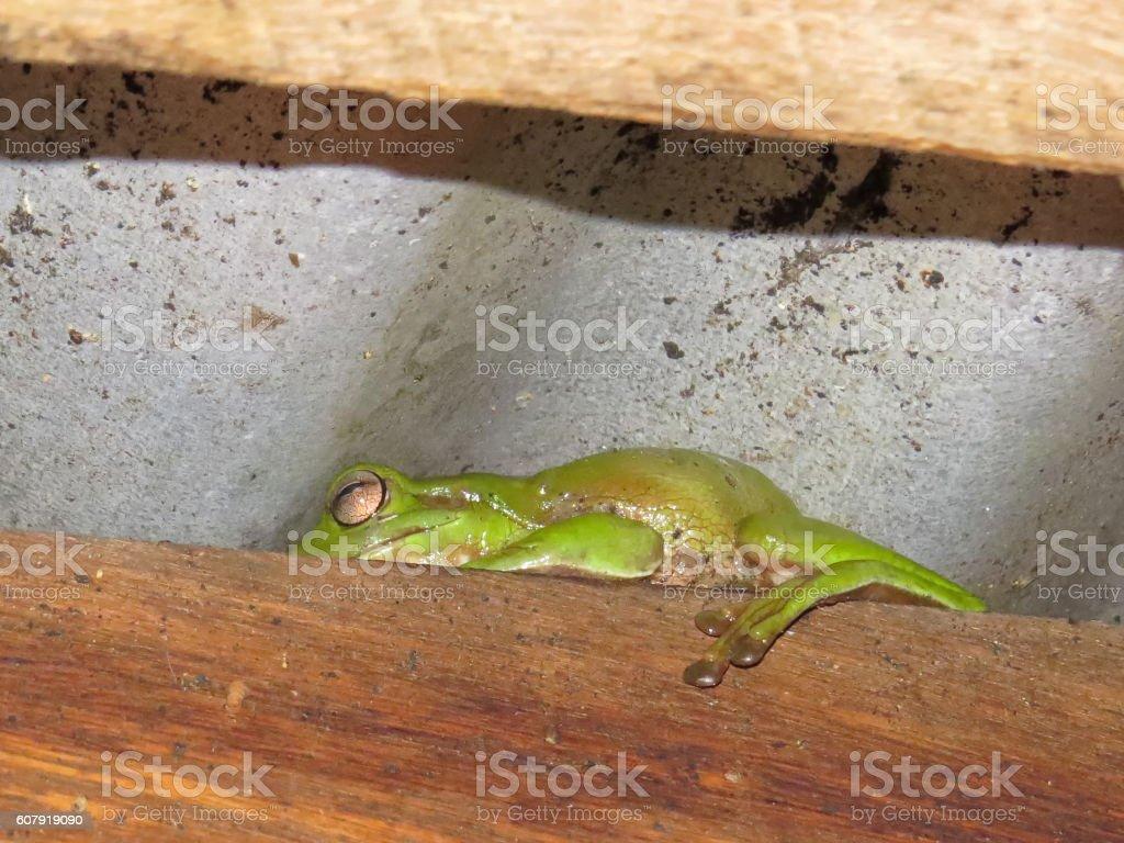 Green frog under metal roof stock photo