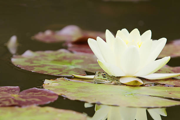 green frog under water lily - mantonature amfibieen stockfoto's en -beelden