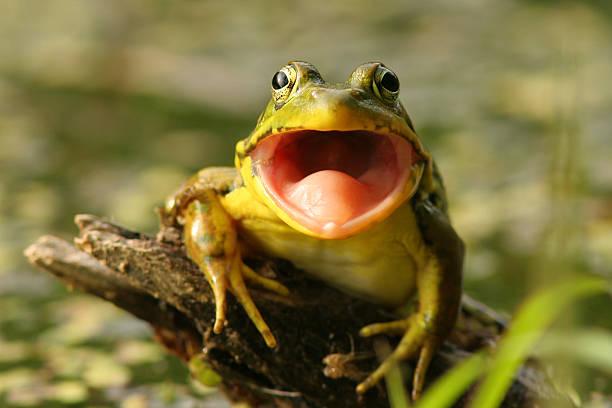 zielona żaba, rana clamitans) z otwarte usta, pinery provincial park - staw woda stojąca zdjęcia i obrazy z banku zdjęć