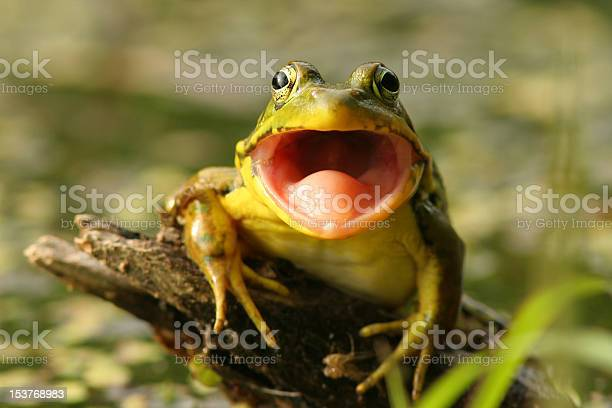 Photo of Green Frog (Rana clamitans) with Mouth Open, Pinery Provincial Park