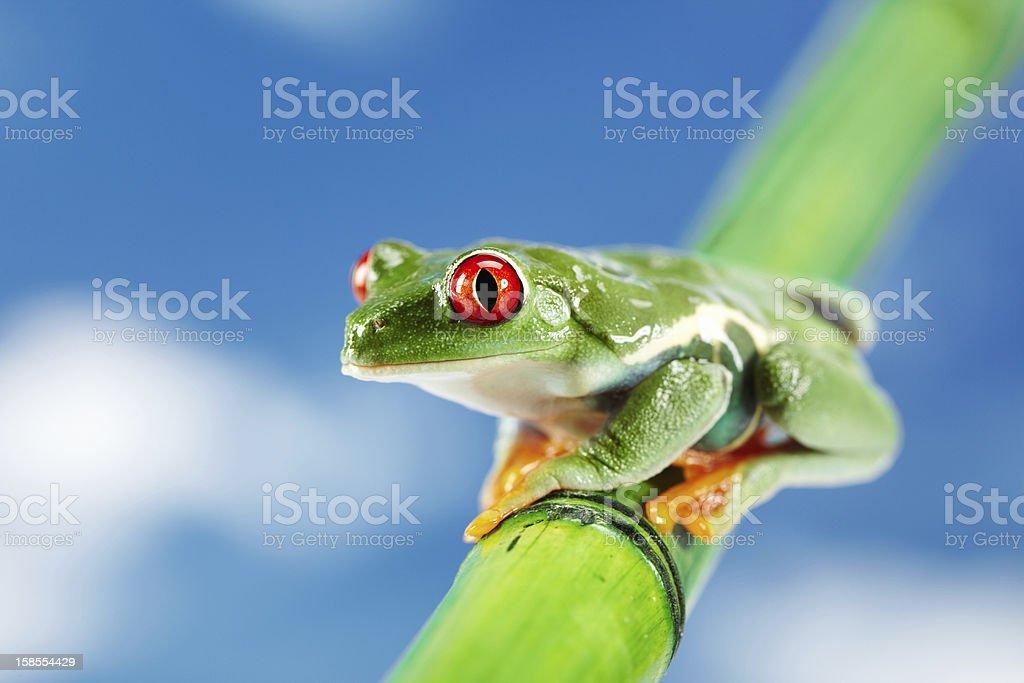 녹색 개구리, 적목을. royalty-free 스톡 사진